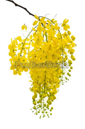 purging cassia or ratchaphruek flowers isolated