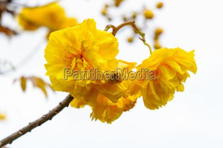 yellow flowers of cochlospermum regium on