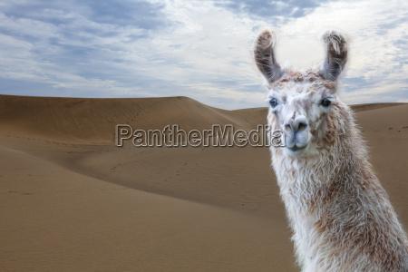 lama portrait against desert sand