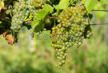 ripe grapes on wheat fields