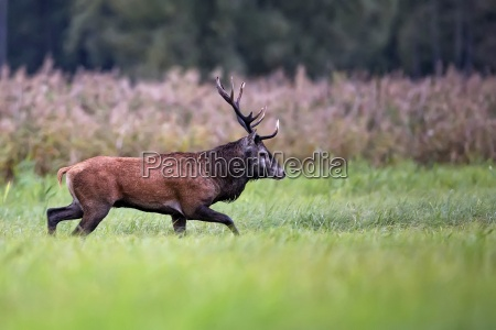 red deer on the move in