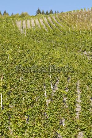 vineyard vine stocks