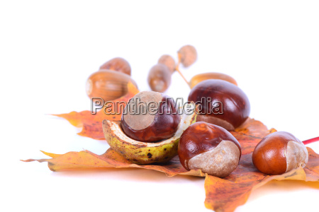 chestnuts with autumn maple leaves