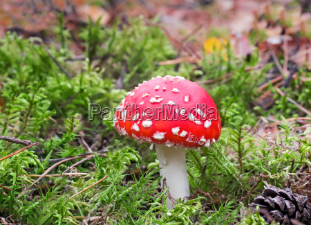 mushroom mushroom in a forest glade