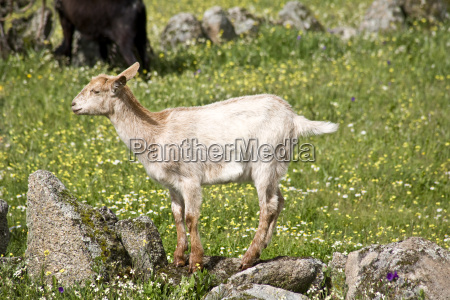 young goat grazing
