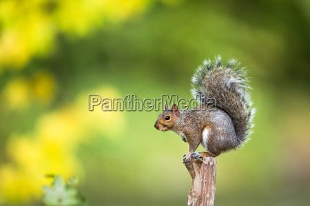 eastern grey squirrel sciurus carolinensis