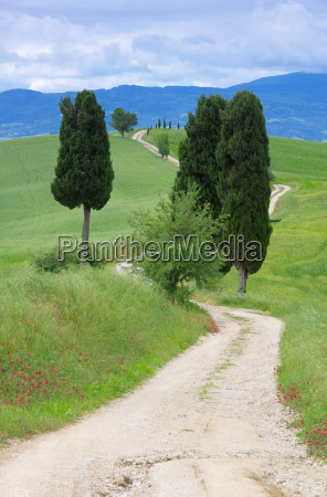 tuscany cypress trees with route 13