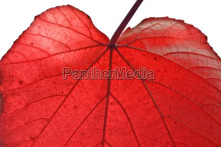 autumn red leaf detail