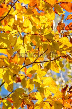 autumn tree closeup