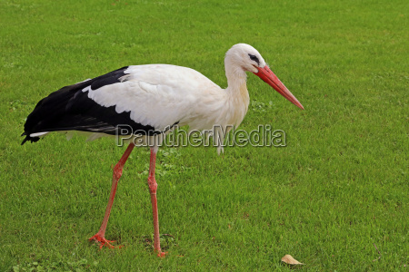 white stork in october