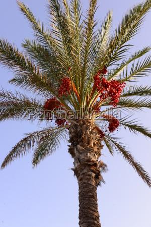 date palm in spain