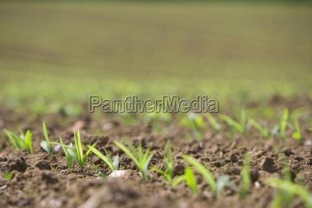 close up of corn seedlings in