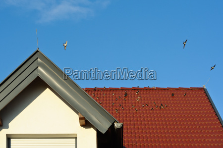 swallows on the roof of a