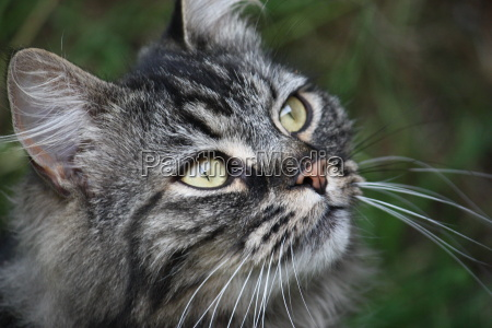 very cute long haired tabby pet