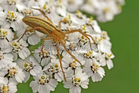 running spider tibellus oblongus