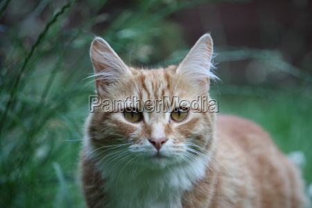 beautiful long haired ginger cat