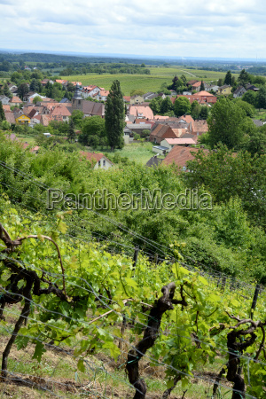 vineyard near pleisweiler oberhofen