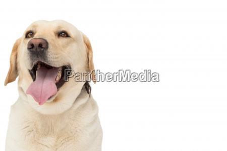 yellow labrador dog with tongue out