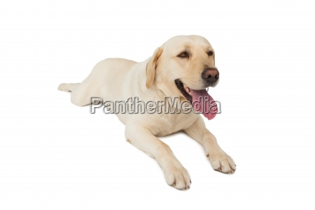 yellow labrador dog lying