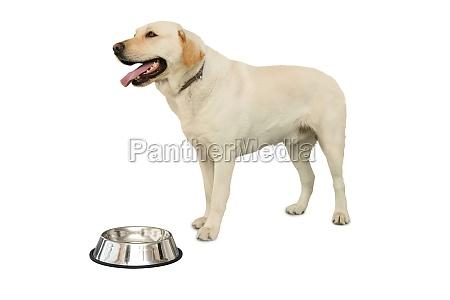 cute labrador dog standing beside water