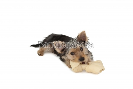 yorkshire terrier puppy munching on a