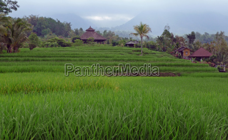 rice terraces with huts