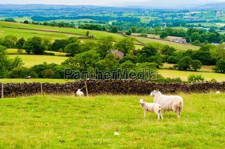 view of english grazing sheep in