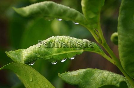 dewdrops in a leaf in the