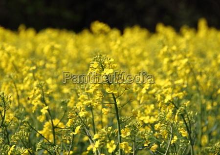 rape field in daylight at springtime
