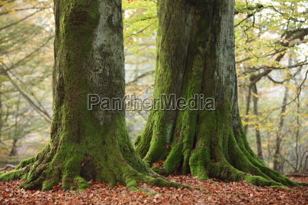 old trees in the national park