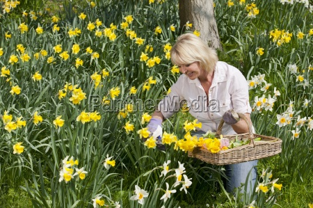 woman with basket picking daffodils in