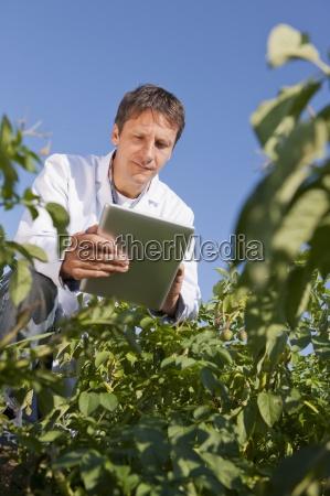 scientist examining flower on potato crop