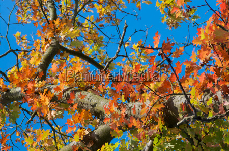 autumn leaves of red oak