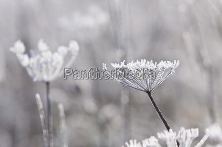 frost daekket ko persille staengler om