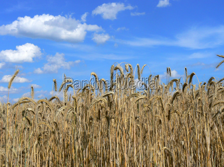 rye field in front of blue