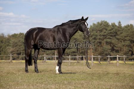 black horse on meadow