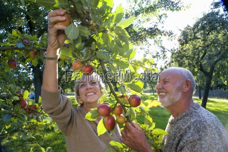 mature couple picking apples in orchard