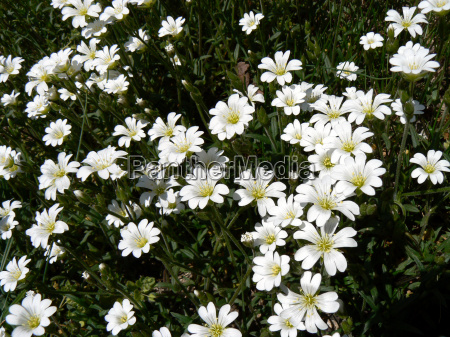 called great chickweed stellaria holosteaalso true