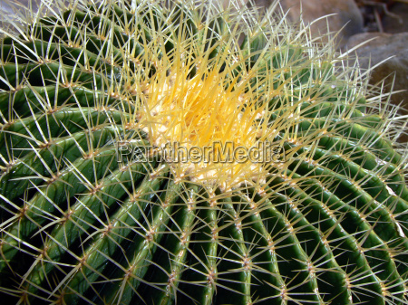 gold ball cactus mother in law