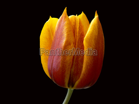 tulip yellow red released