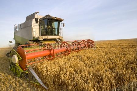 combine harvesting wheat in sunny rural