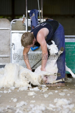 young farmer shearing sheep for wool