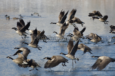 canada geese taking to flight from