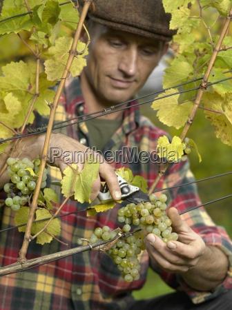 vertical color photography series vineyard radebeul