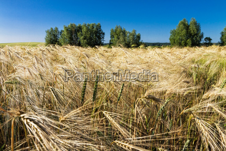 cornfield with trees