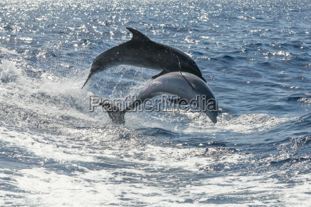 free swimming dolphins off tenerife