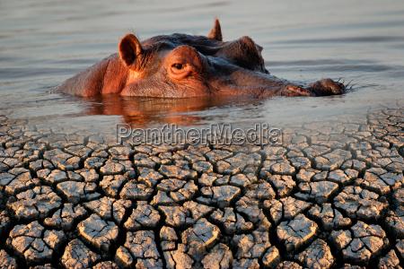 hippopotamus and drought