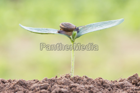 close up snail on seed young