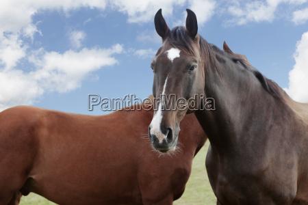 holsteiner horse against cloudy skies