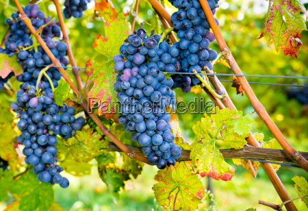 organic grapes course